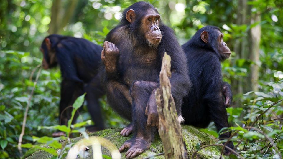 Trois chimpanzés sont assis sur un rocher dans le parc national de Gombe Stream, en Tanzanie.