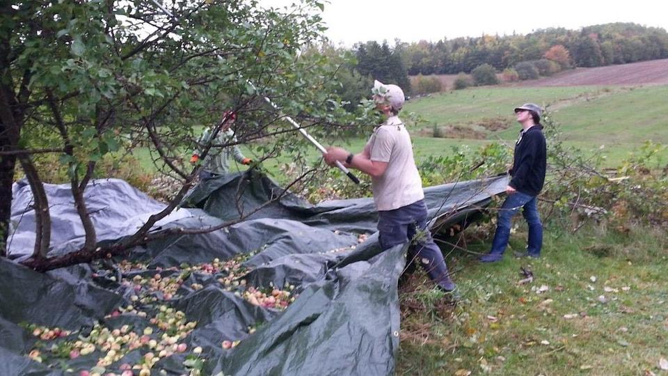 Trois personnes qui font la cueillette de pommes sauvages dans un champ.