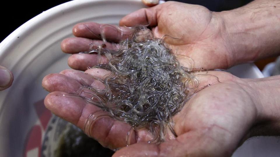 Des dizaines de civelles dans les mains d'un homme