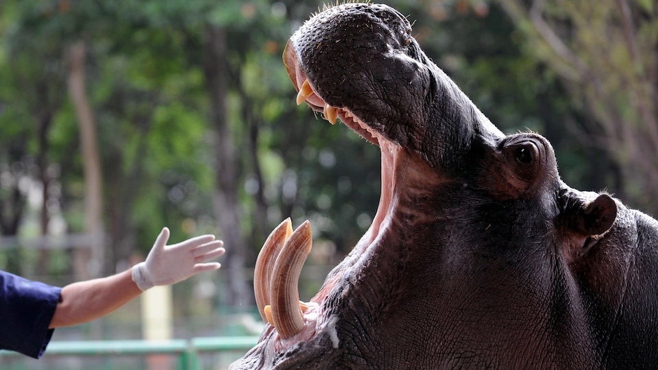 Un gardien de zoo tend la main vers la gueule ouverte d'un hippopotame.
