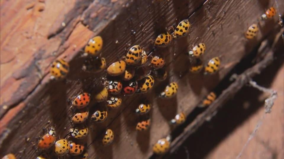 Beaucoup de coccinelles sur un morceau de bois.