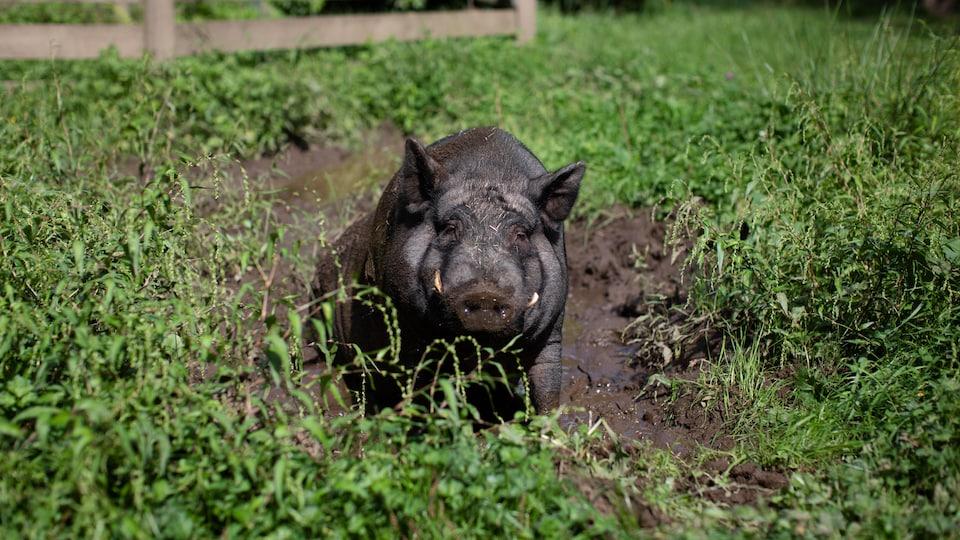 Un cochon est dans la boue.