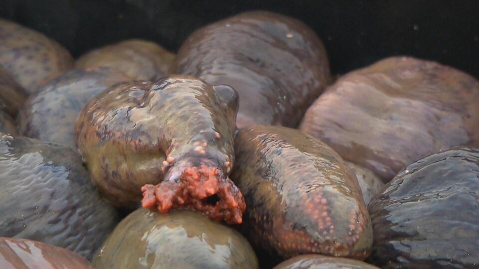 Des concombres de mer empilés.
