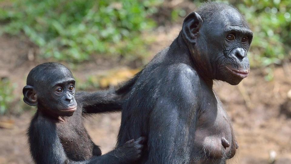 Une femelle bonobo transporte son petit sur son dos.