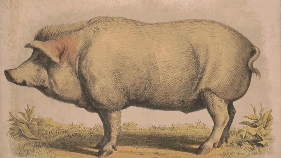 Dessin représentant un cochon dans un traité destiné aux éleveurs et aux agriculteurs