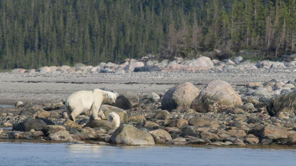 Deux ours polaires se déplacent sur le territoire des Cris.