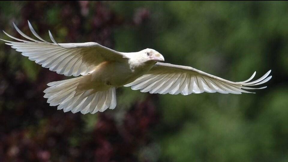 Un corbeau blanc en plein vol.