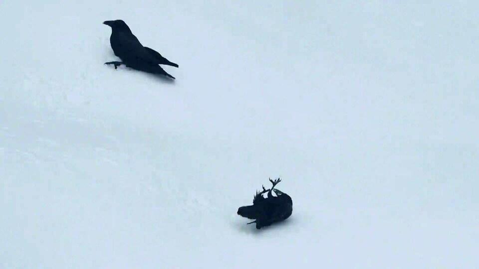 Deux corbeaux semblent jouer dans le neige.