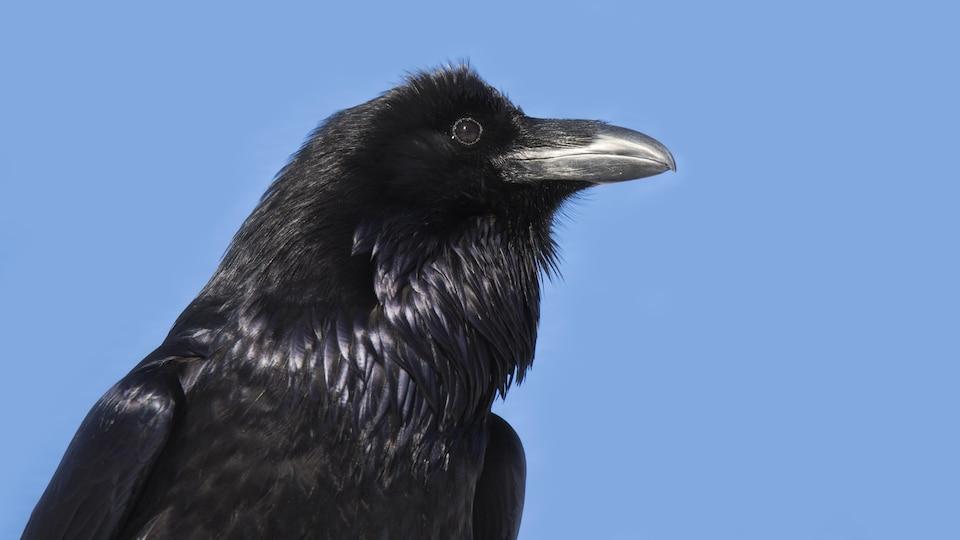 Un corbeau porte son regard au loin.