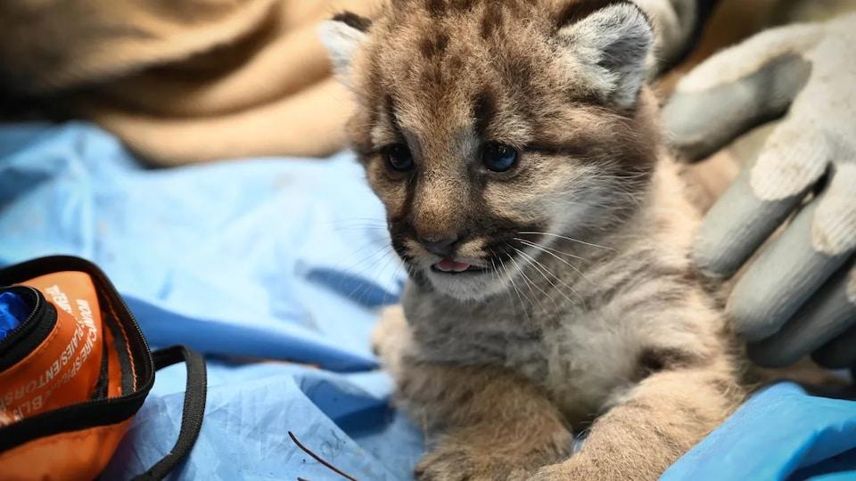 Un bébé cougar.