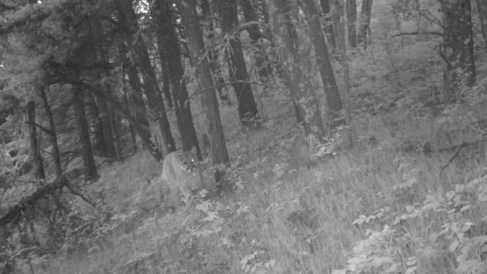 Un cougar sur une photo en noir et blanc.
