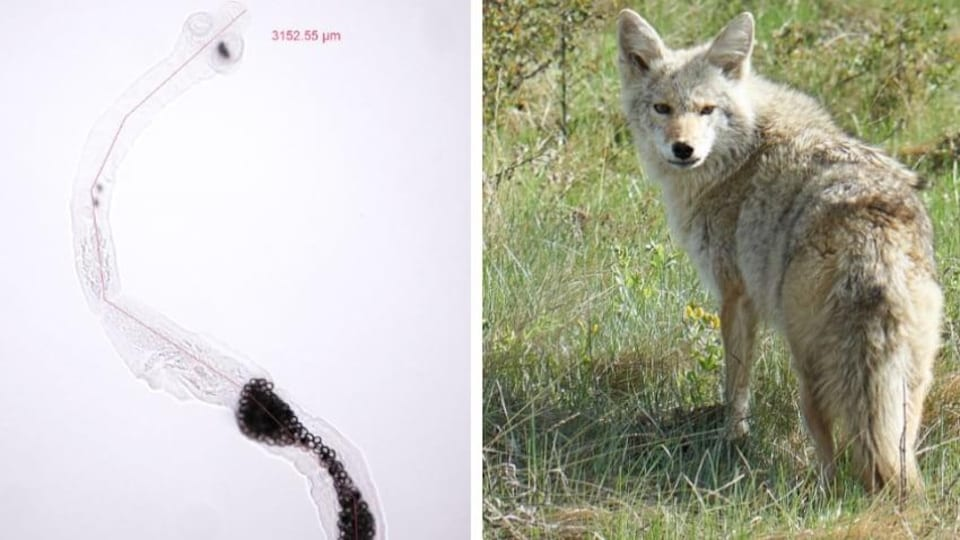 Àgauche, une image du ver. À droite, un coyote.