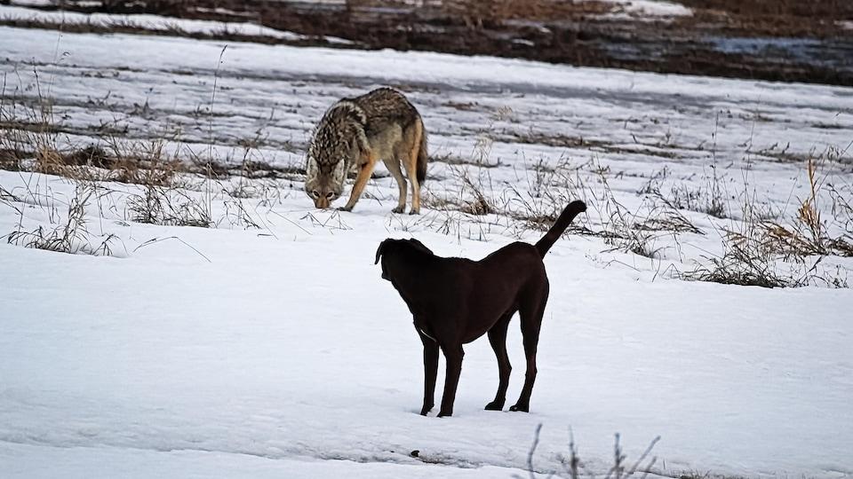 Un chien domestique et un coyote s'observent.