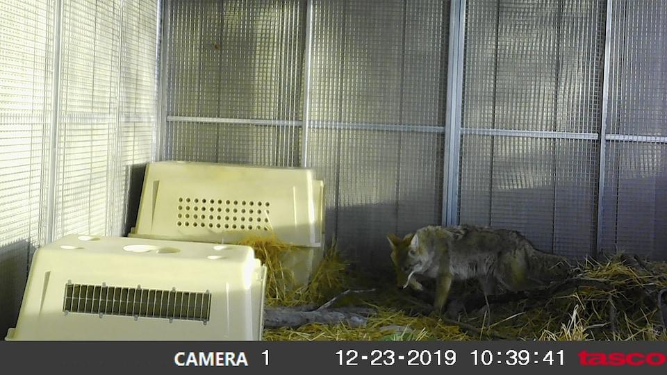 Un coyote est filmé à partir d'une caméra, dans un enclos fermé.