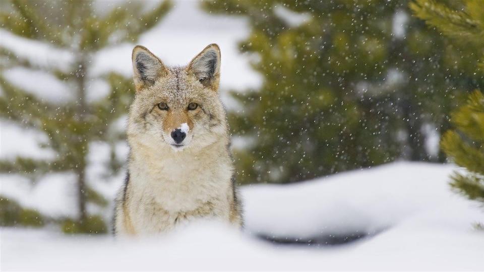 Le coyote a un beau pelage épais pour le protéger du froid.