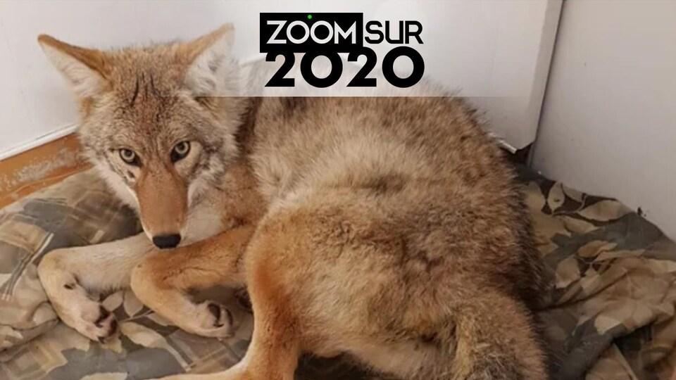 Un coyote couché sur une couverture.