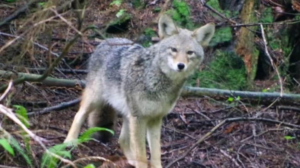 Un coyote dans le parc Stanley de Vancouver, sur le sentier Ravine près du Lac aux castors.
