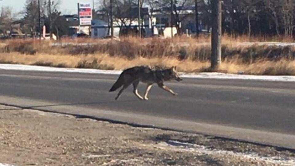 Un coyote marche au milieu de la rue Raleigh à Winnipeg alors qu'au loin se trouve une station essence