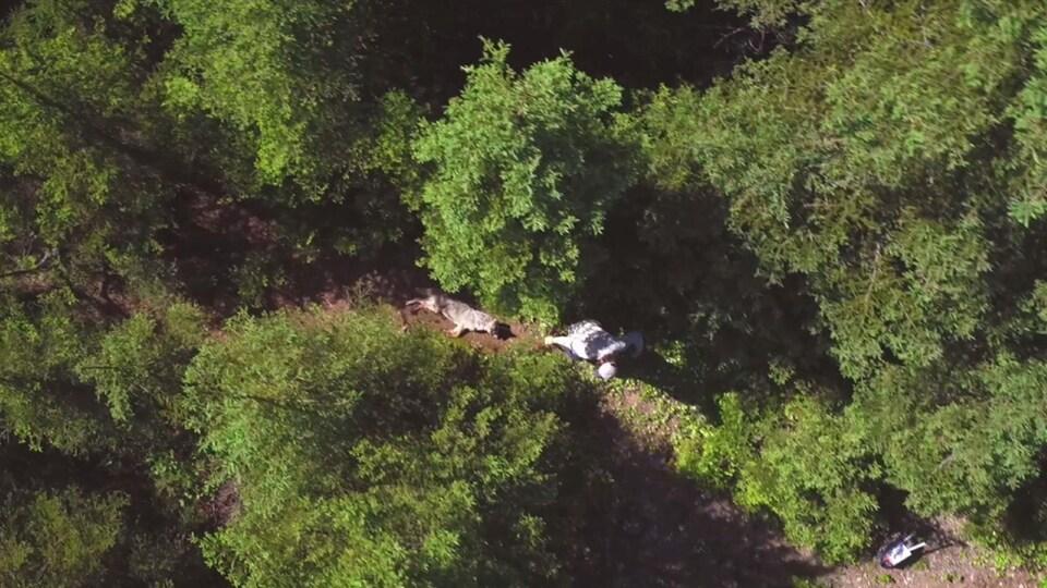 On voit, du haut des airs, un homme qui traîne un coyote mort au bout d'une corde, dans un sentier entre les arbres.