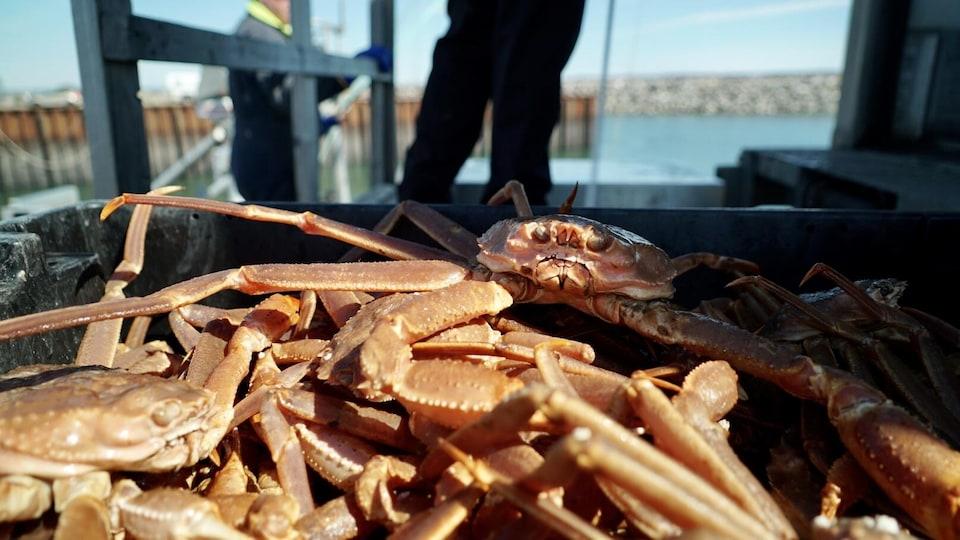 Débarquement de crabe des neiges au quai de Rimouski.