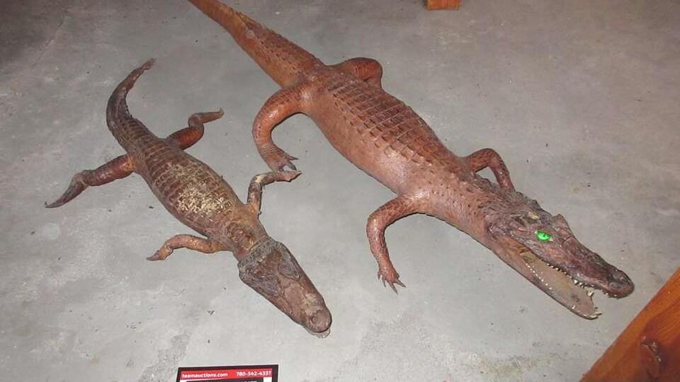 Deux crocodiles de tailles différentes empaillés.