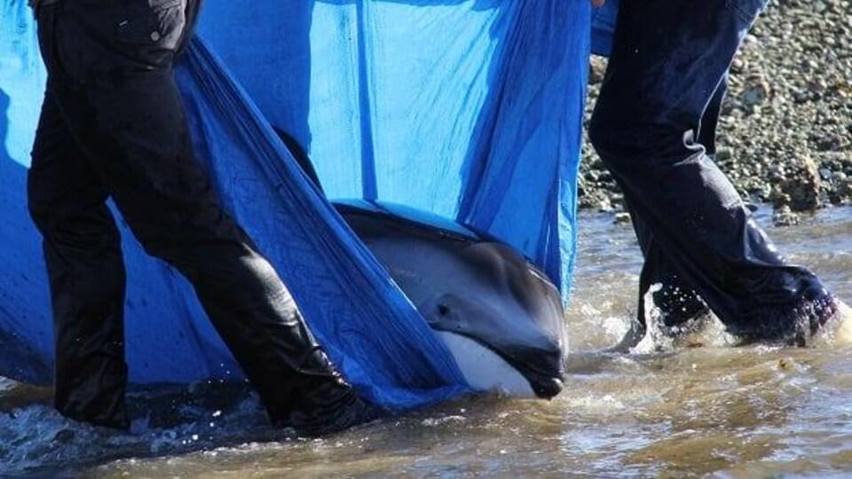 Un dauphin est transporté dans une bâche.