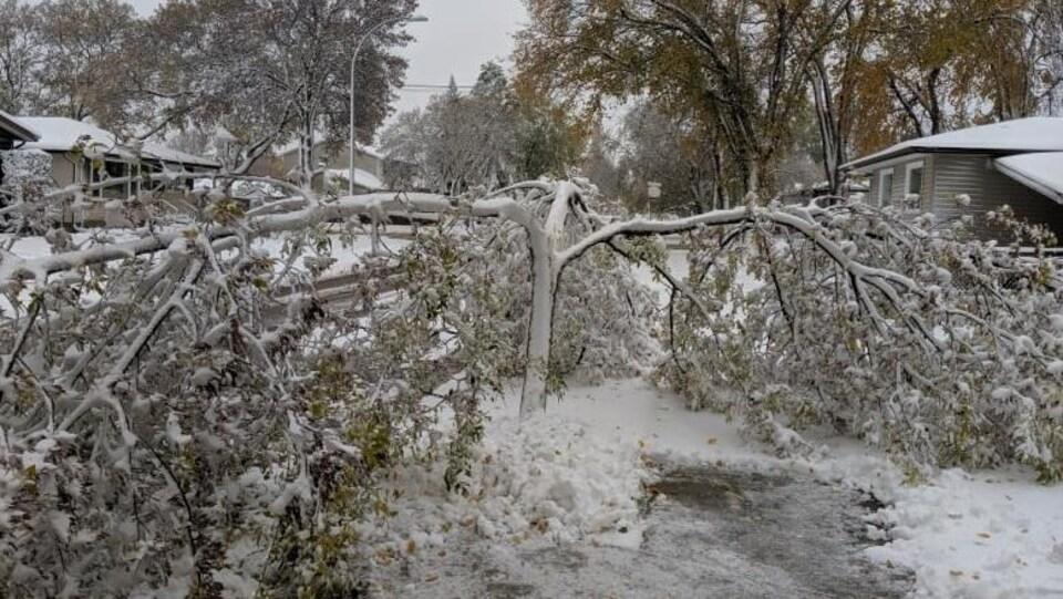 Un arbre fendu par le poids de la neige.