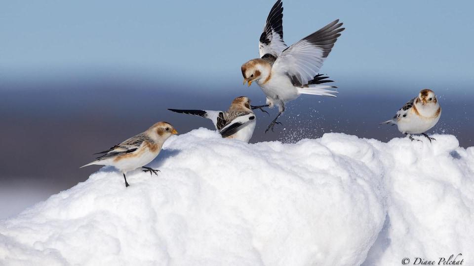 Quatre oiseaux sur un tas de neige.