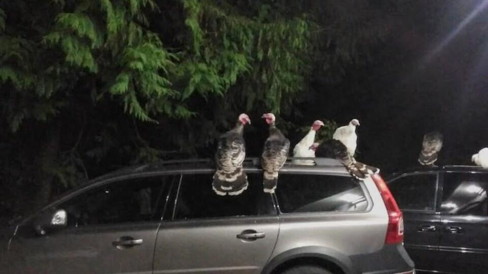 Des dindes sauvages traînent sur le toit de voitures durant la nuit.