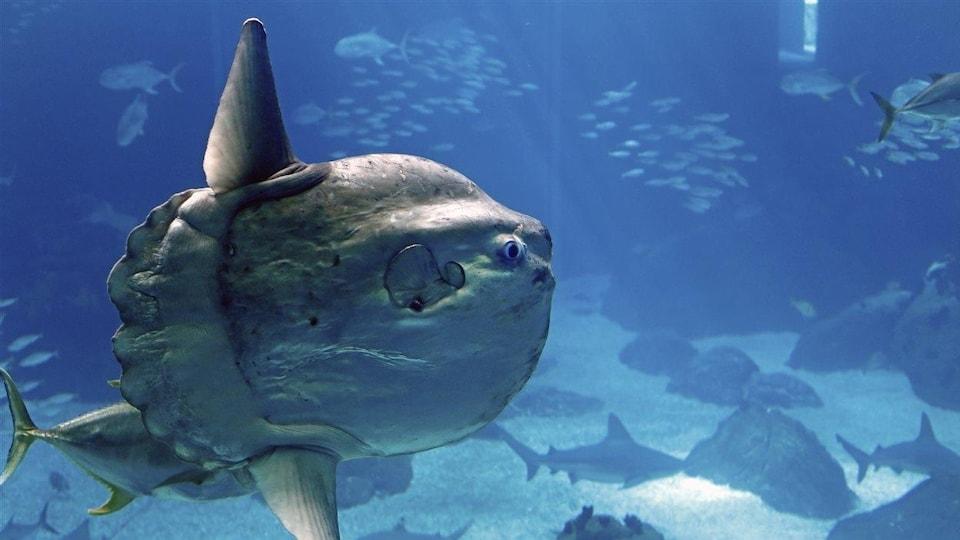 Un poisson-lune, aussi appelé môle.