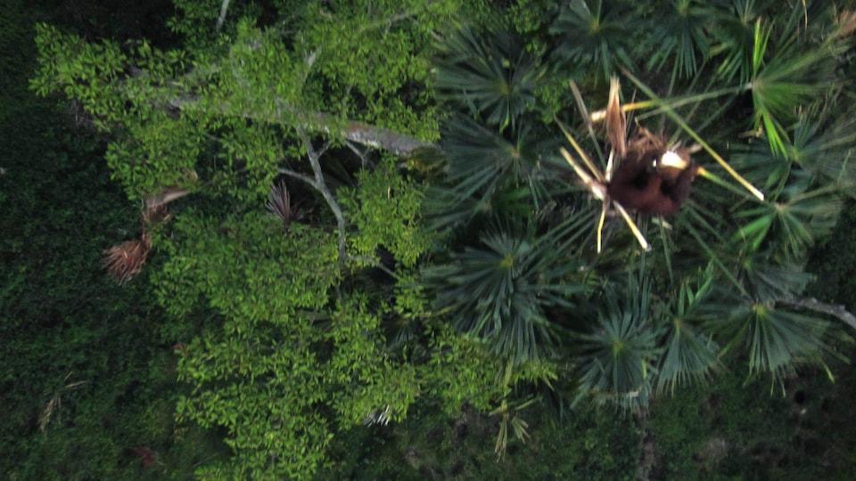 Un drone est utilisé pour recenser les populations d'orangs-outans en Indonésie.