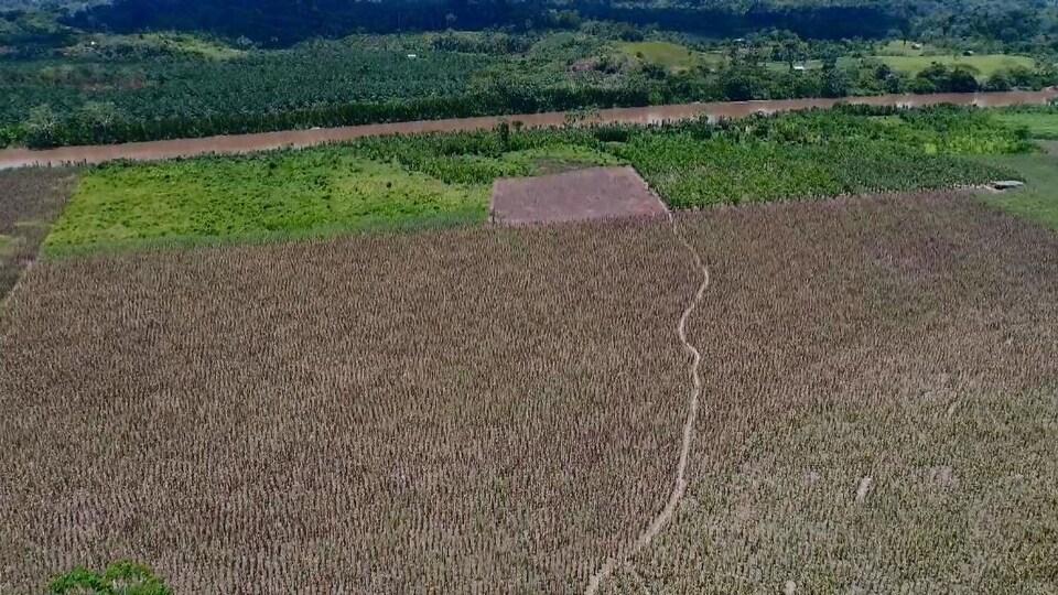 Plan aérien d'une plantation de palmiers à huile traversée par une route.