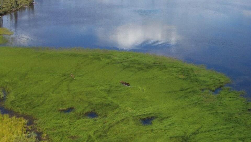 Un orignal traverse l'herbe sur le bord d'une étendue d'eau.
