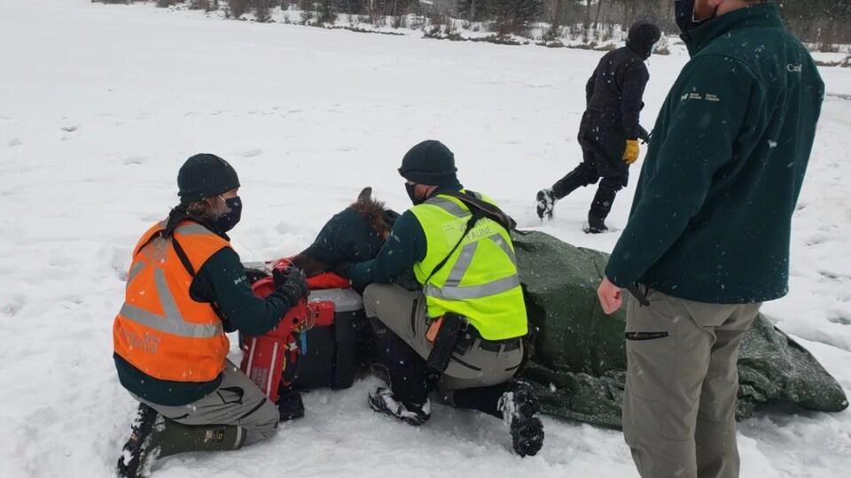 Un wapiti étendu dans la neige, recouvert de couvertures et soigné par des agents e la faune.