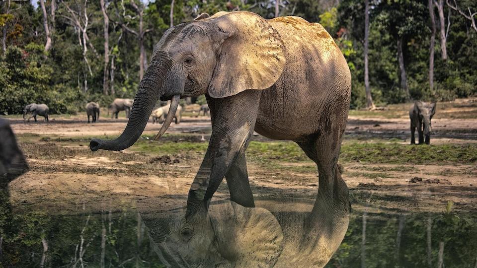 Des éléphants de forêt (Loxodonta africana cyclotis).