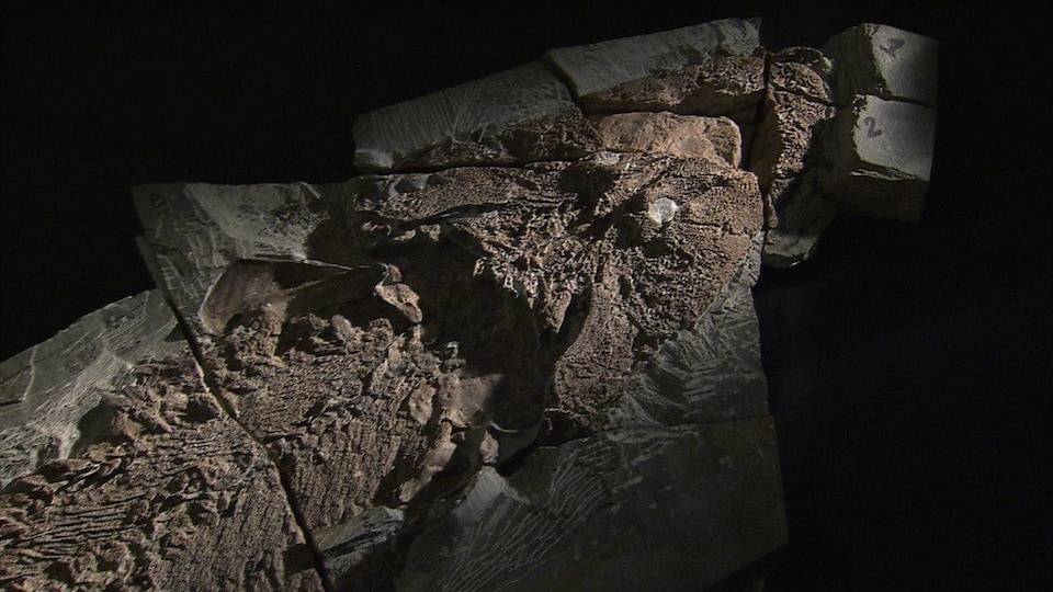 La tête du fossile d'Elpistostege