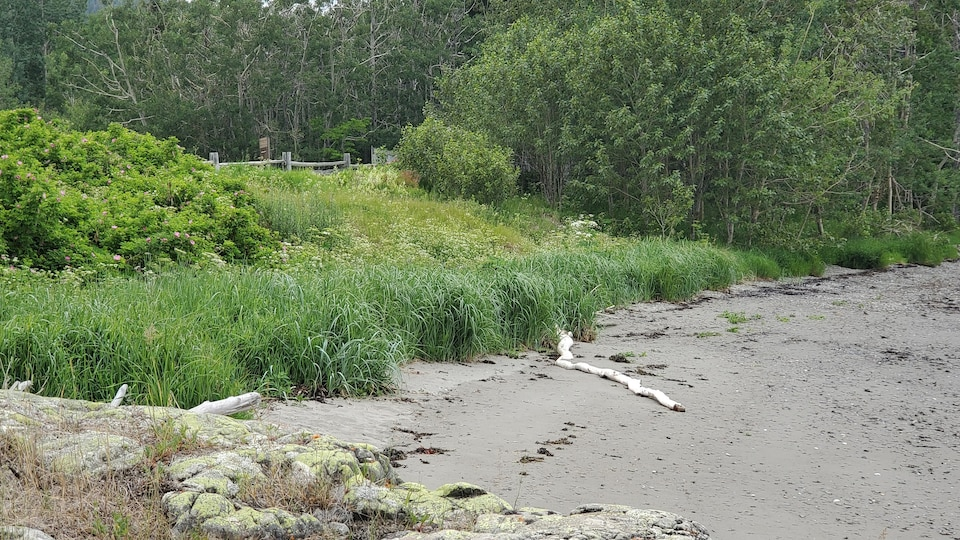Des plantes au bord du fleuve au parc national du Bic.