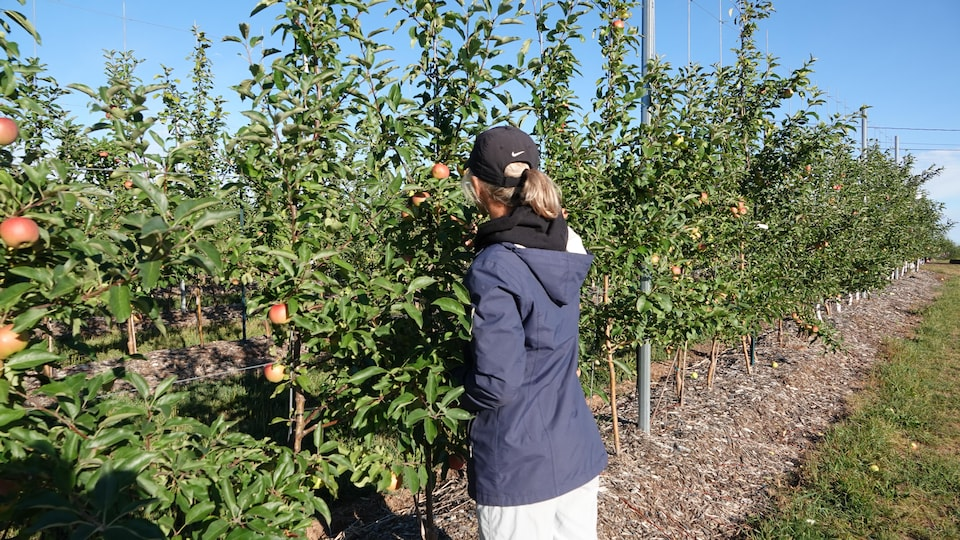 Femme dos à la caméra regarde les pommes dans un pommier.