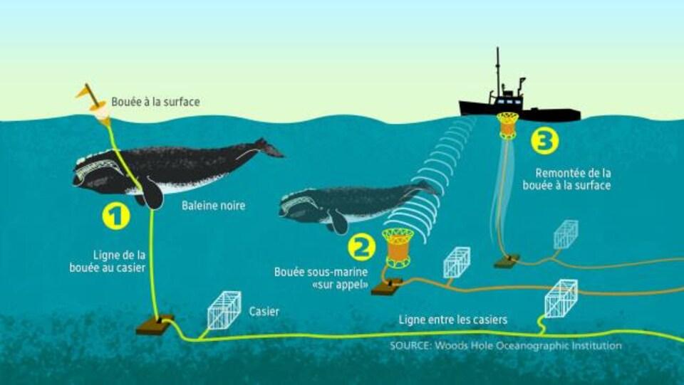 Schéma de nouveaux engins de pêche, moins dangereux pour les baleines