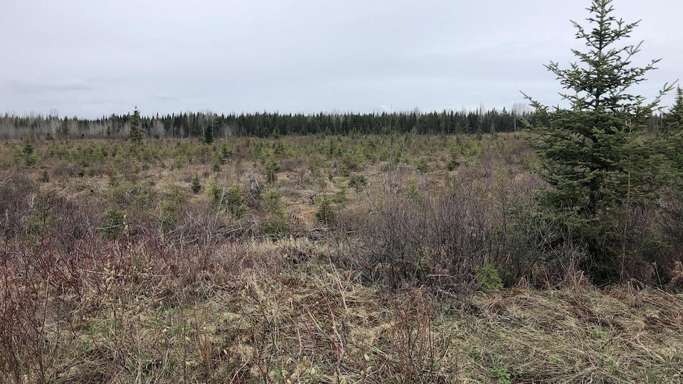 Étendue de petits arbres d'épinette.