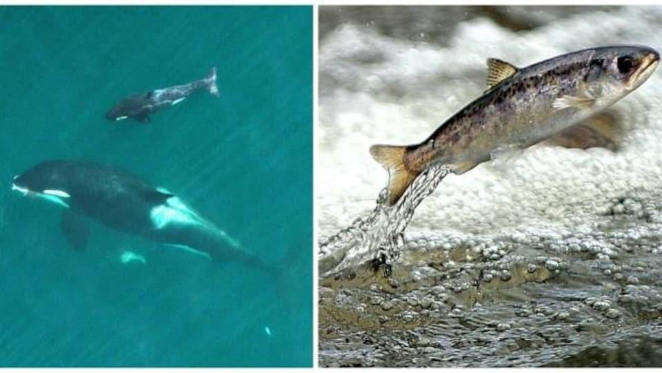 L'épaulard se nourrit à 98 % de saumon quinnat, selon une étude de 2016.