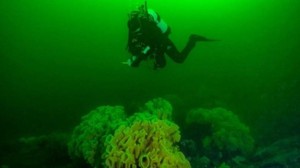 Un plongeur sous-marin fait des observations près d'un récif d'éponges.