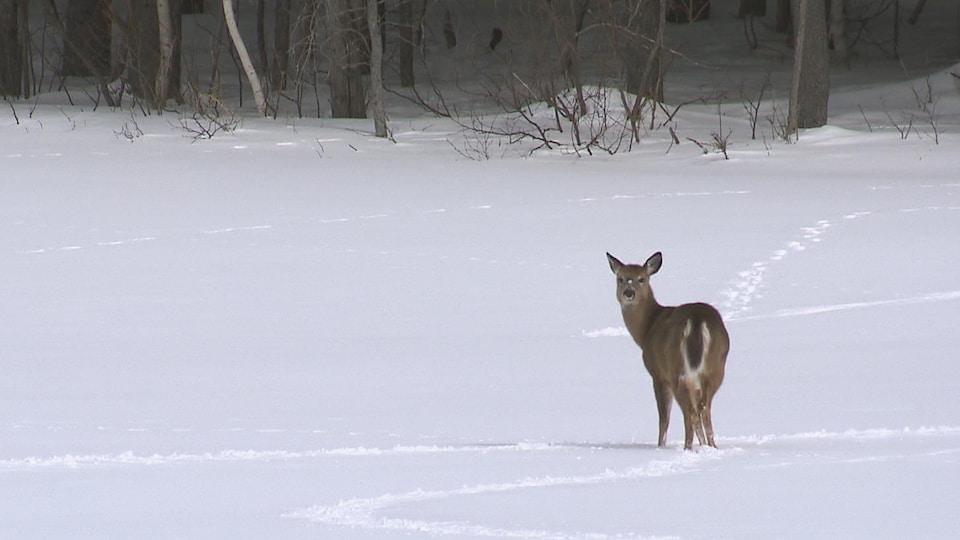 Un chevreuil marchant sur la neige se retourne pour regarder l'objectif de la caméra.