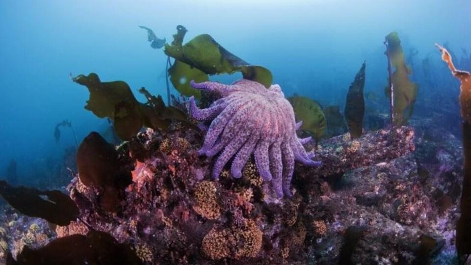 Une étoile de mer mauve avec de nombreux bras se repose sur une formation de corral.