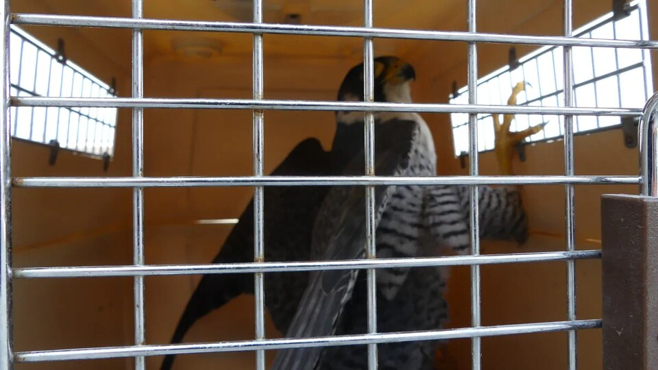 Un faucon pèlerin dans une cage.