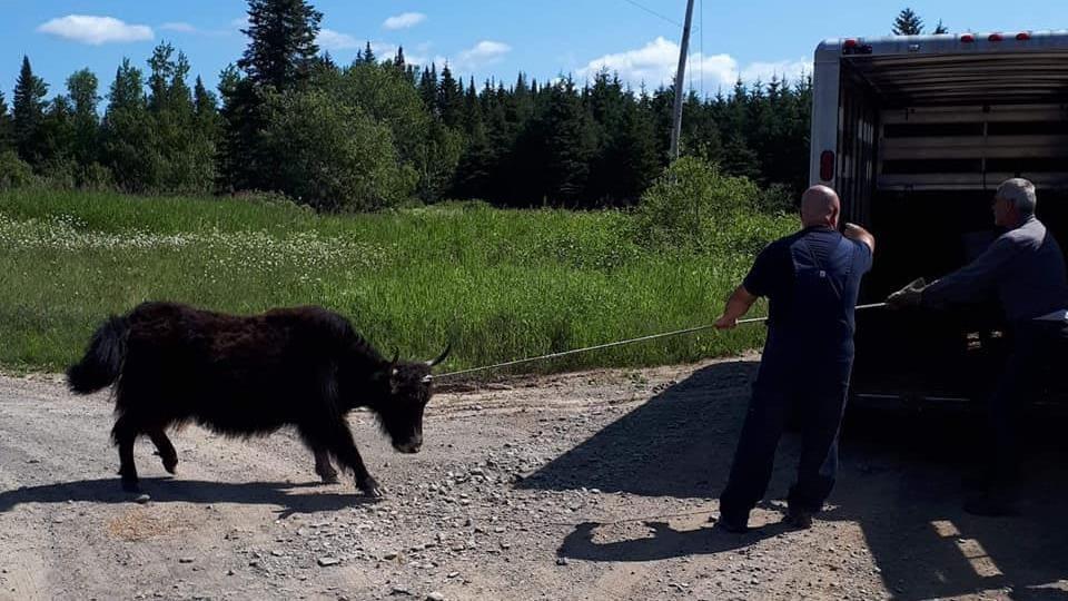 Un yack tiré par une corde devant une remorque.