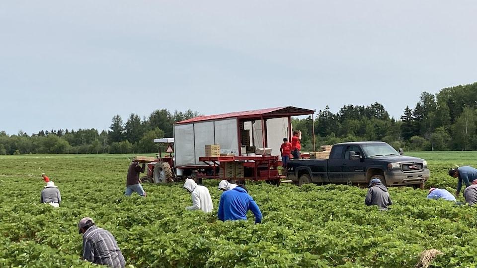 Des travailleurs étrangers cueillent des fraises dans les champs de la Ferme Bourdages Tradition.