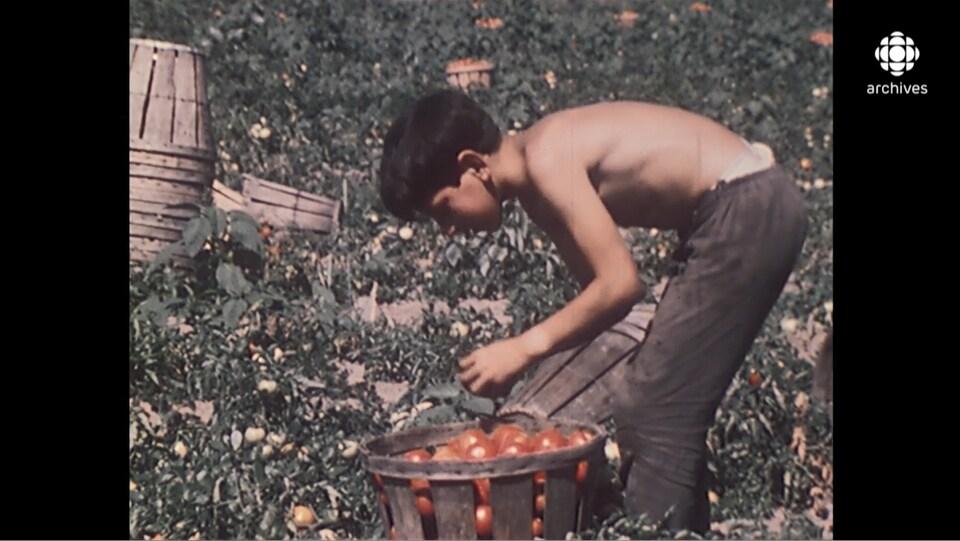 Une jeune garçon, torse nu, cueille des tomates dans un champ.
