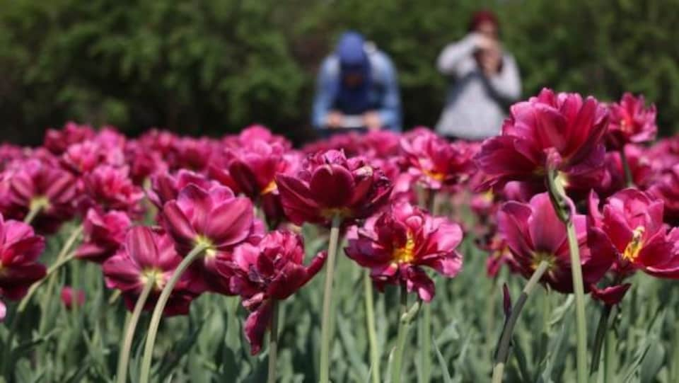 Des gens photographient des tulipes en avant-plan, durant le Festival des tulipes d'Ottawa.