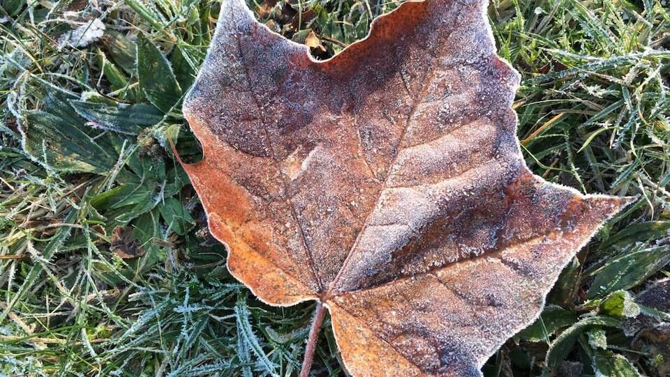 Une feuille d'érable givrée par le temps froid.